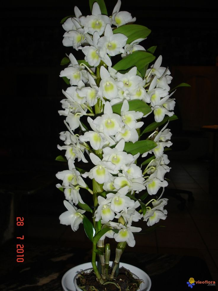 Orchidee dendrobium nobile visoflora orchids pinterest for Le orchidee