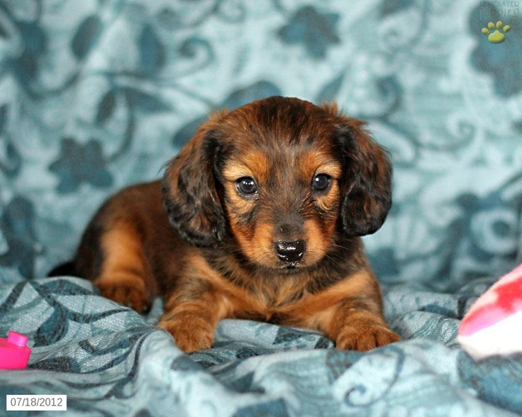 26 best Hoosier dachshund breeders images on Pinterest | Dachshunds ...