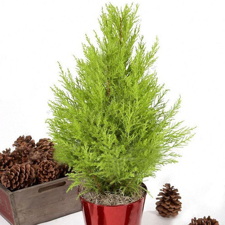 Egrow 50 PCS Italian Cypress Tree Seeds Cupressus Sempervirens Home Garden Bonsai Planting Seeds