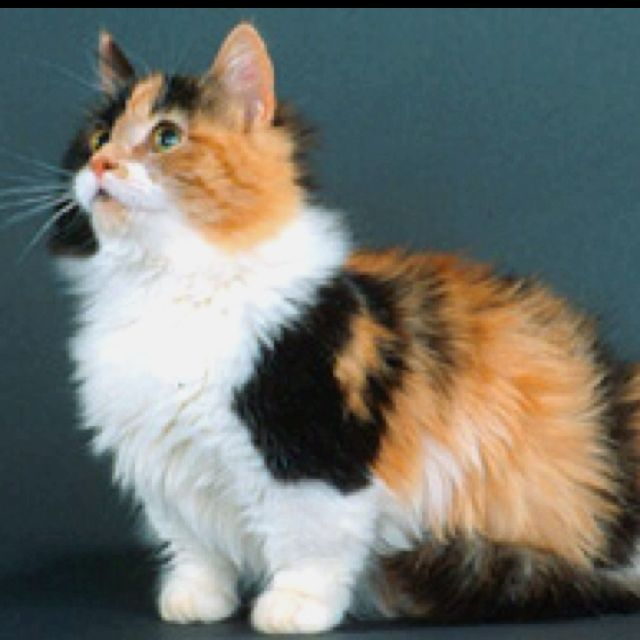 Munchkin cat aka cat with Corgi legs. Want it.