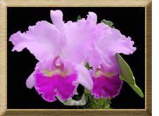Orquídea-Cattleya- Trianea.  Flor nacional de Colombia – Simbolos patrios de colombia
