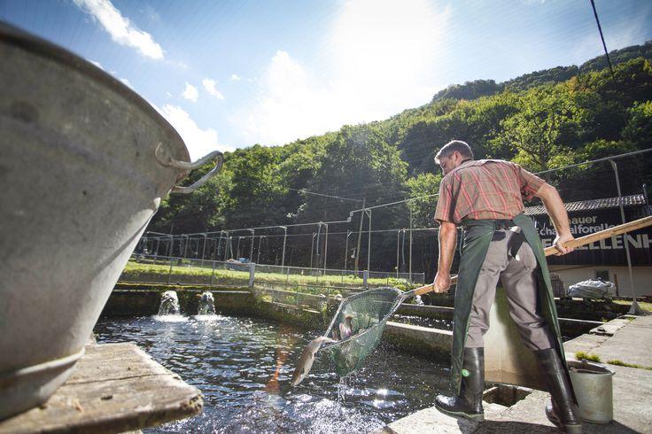 Verteilt auf 20 Teiche wachsen in unserer Zucht Forellen, Lachsforellen und Saiblinge heran