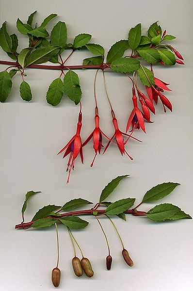 Foraging Fuschias. Great blog on foraging in NZ.