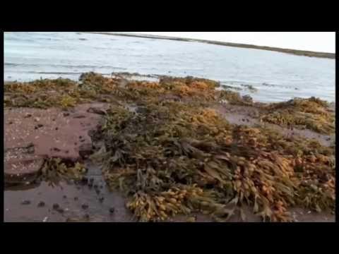 Secretos de las algas marinas, usos y propiedades- Isla del príncipe Eduardo, Canadá - http://www.nopasc.org/secretos-de-las-algas-marinas-usos-y-propiedades-isla-del-principe-eduardo-canada/