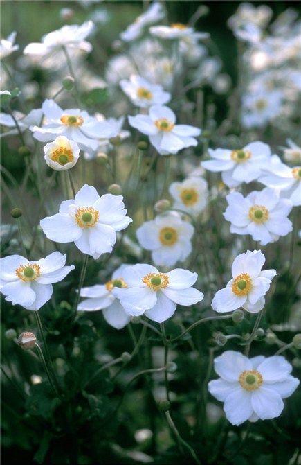 """Anemone """"Honorine Jobert"""" (windflower)"""
