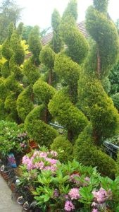 Cupressus Goldcrest Topiary Spirals also known as Lemon Cypress or Goldcrest Wilma, for sale from Paramount nursery UK