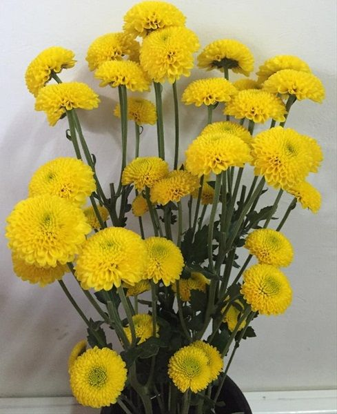 Trend Button Yellow Bumble Bee Spray Pompoms Chrysanthemum Flowers by category