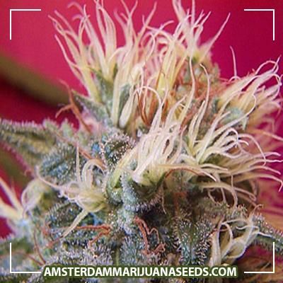 Super Skunk seeds | Skunk 1 crossed with an Afghani.Strong skunk flavor and smell.This one is especially developed for S...