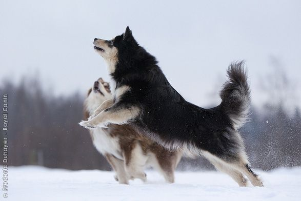 17 Best images about Finnish Lapphund on Pinterest ...