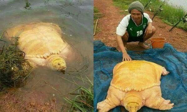 The yellow Turtle . .