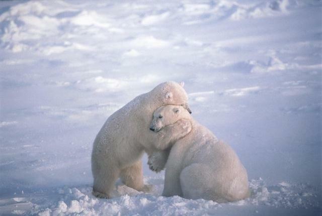 Svarlbard Norway - Polar Bears (Is Bjørn)