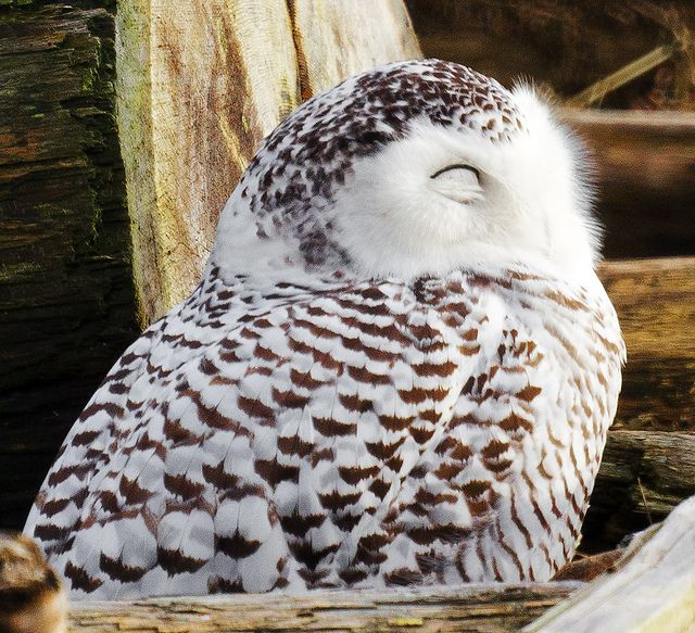 207 Best Snowy Owls Images On Pinterest Barn Owls Owls And Snowy Owl