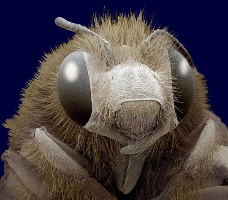 Фотографии пчелы под микроскопом