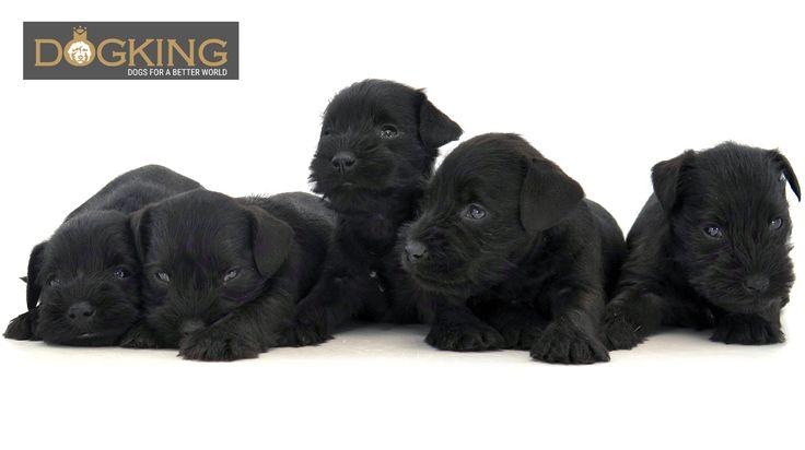 El Schnauzer mini negro es un perro perfecto para familias. Esta camada tiene el color brillante muy azabache. #cachorros #perros #unomás #familydogs #madewithlove #schanuzermini