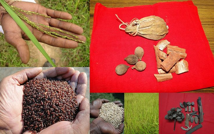 Medicinal Rice based Tribal Medicines for Diabetes Complications and Metabolic Disorders (TH Group-771) from Pankaj Oudhia's Medicinal Plant Database. Encyclopedia of Tribal Medicines by Pankaj Oudhia. #Ethnobotany #Biodiversity