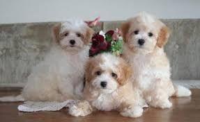 maltese beagle temperament - Google Search