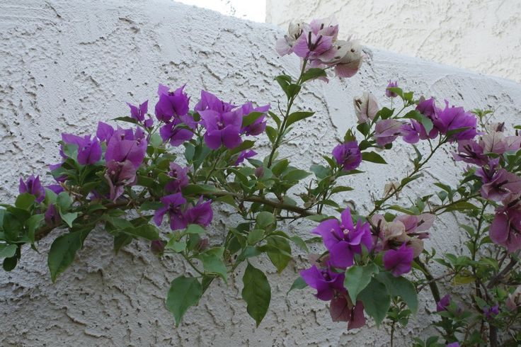 'Purple Queen' Bougainvillea holds onto its fading bracts