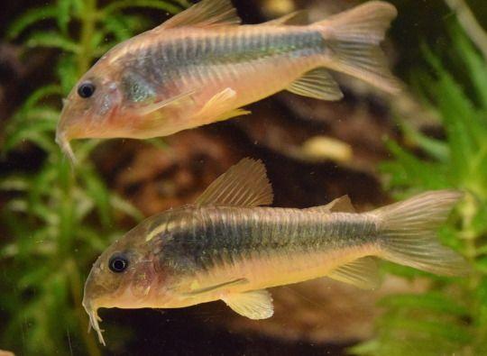 pangiopangio - Corydoras aquarium catfish