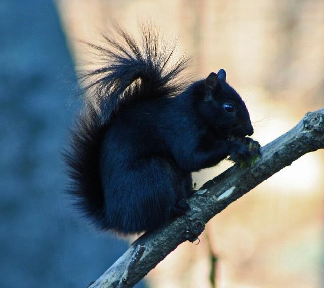 Black Squirrel by Turkinator, via Flickr