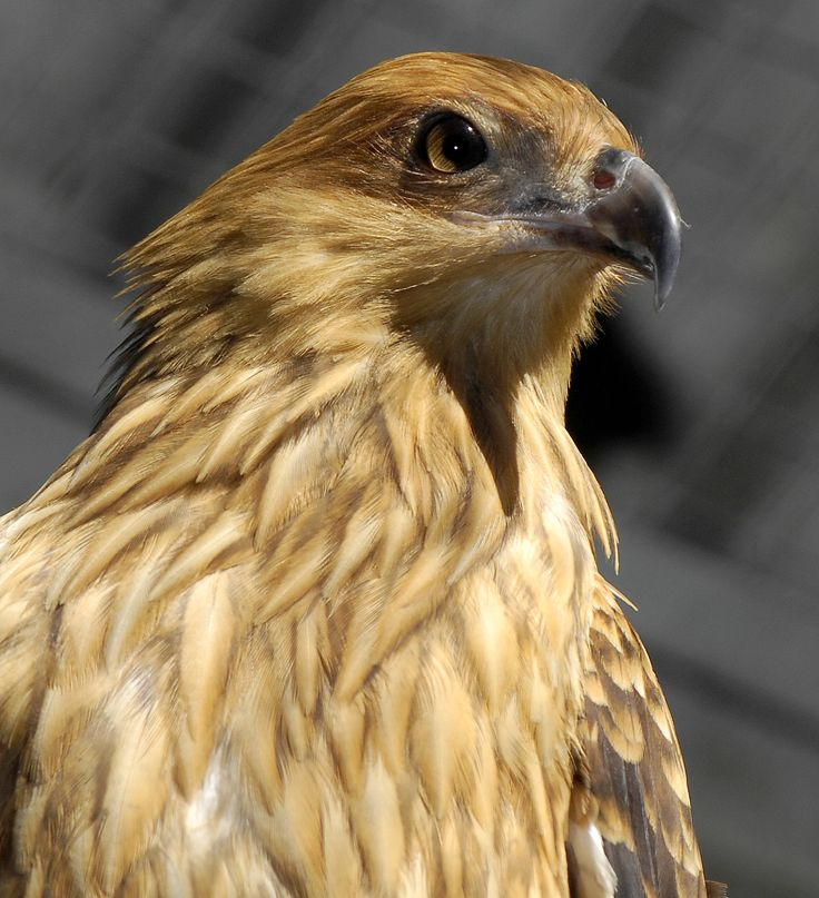 The eagle whistler