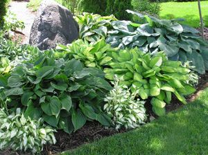 a hosta border with a variety of colored hosta