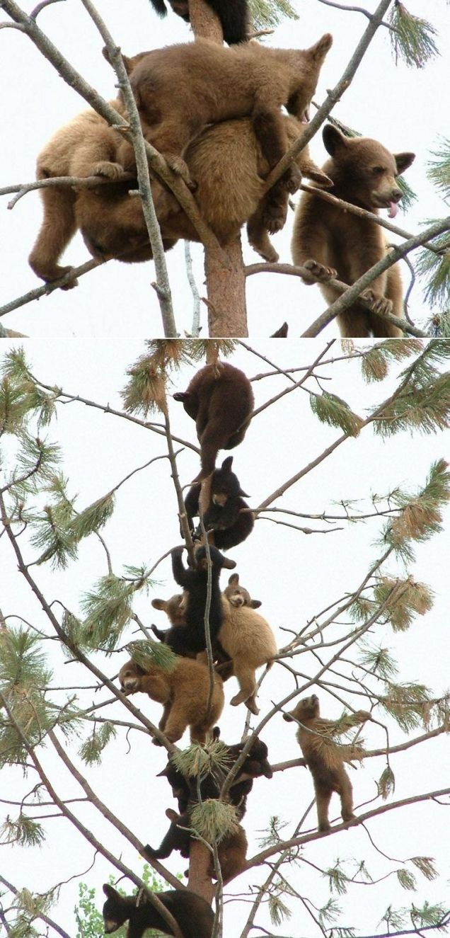 (via Baby bears in a tree ) Where? How? How can there be so many baby bears in one tree?