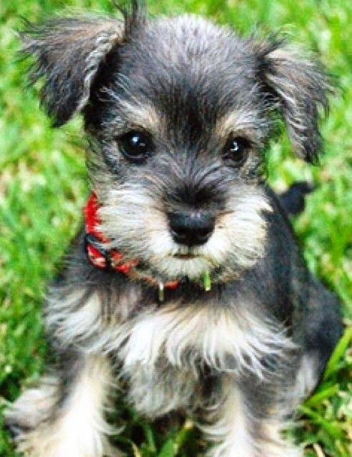 5 Longest Living Dog Breeds (Miniature Schnauzer). This is my dog Della!