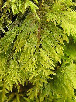 Zpeřenka tamaryšková (Thuidium tamariscinum) je mech poměrně hojně rozšířený ve střední Evropě.