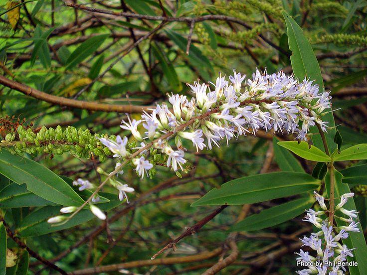 Hebe salicifolia - Koromiko (flower)
