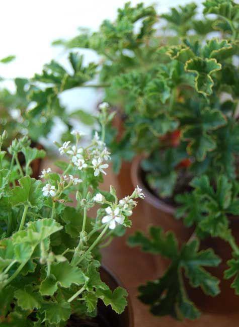 we like it wild: scented geraniums – Design*Sponge