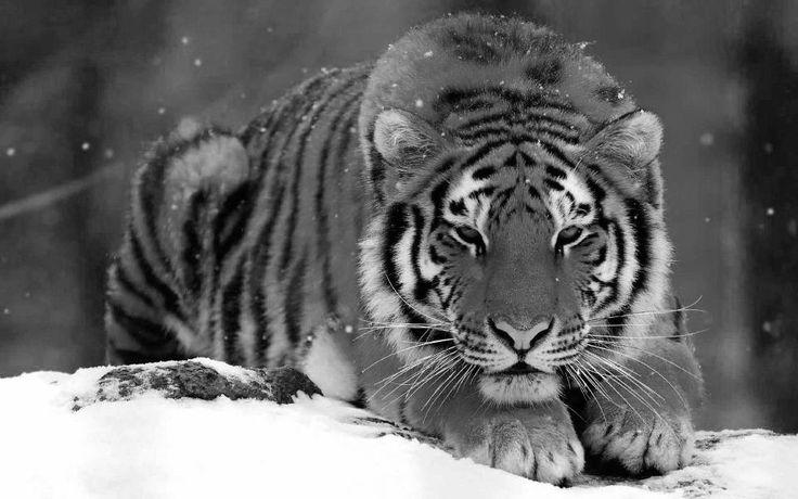 White Siberian Tiger | Noel coutumes de nos régions (15)