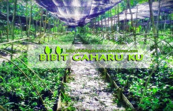 Di jual Bibit Gaharu jenis Aquilaria Malaccensis asli kalimantan. Bibit gaharu dari indukan yg sudah berumur 50 thun siap antar seluruh Indonesia. - Tinggi 20 sampai 50 cm harga Rp. 2.000,- / bibit - Tinggi 5 sampai 15 cm harga Rp. 1.000,-/ bibit (Ready Stocks)  Lokasi : Banjarbaru (Kalimantan selatan) http://bibitgaharuku.wordpress.com Contact Person : 085272223447 / 081953631776