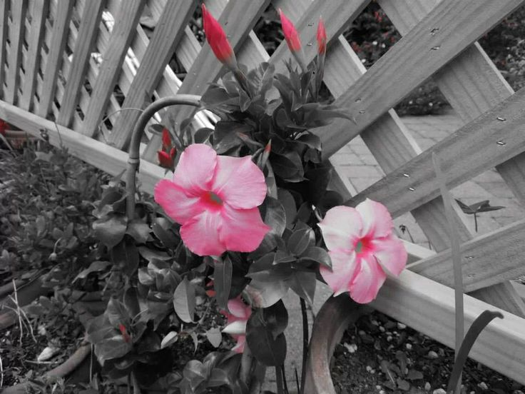 Pink flowers in a black and white background