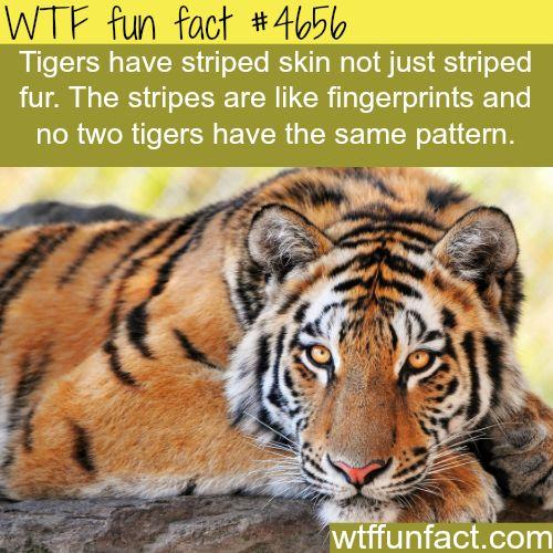 Tigers stripes - WTF fun facts