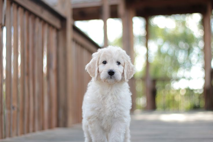 One of our English Teddybear Goldendoodle Puppies #goldendoodle #puppy #cute #adorable