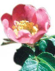 La Rosa Mosqueta e le sue proprietà, per dare una marcia in più ai tuoi cosmetici... ;)