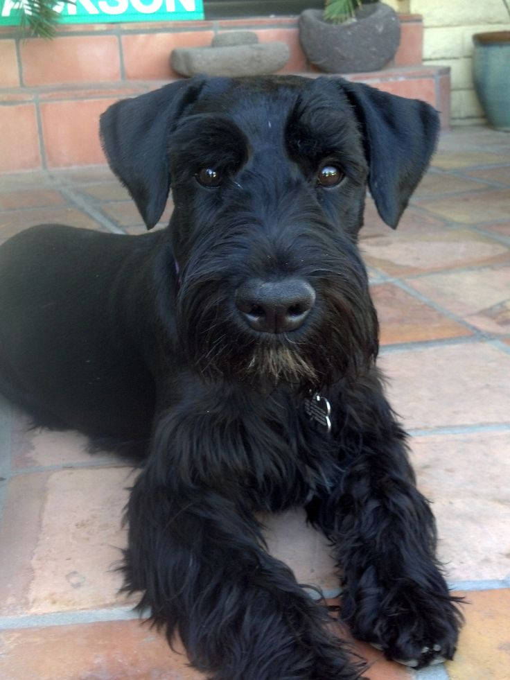 https://flic.kr/p/rsTNxt | Cole (Coal Black - Cole as in Cole Porter) IMG_20150324_142822_594 | Cole, 7 months old Standard Schnauzer from Christina Kidd