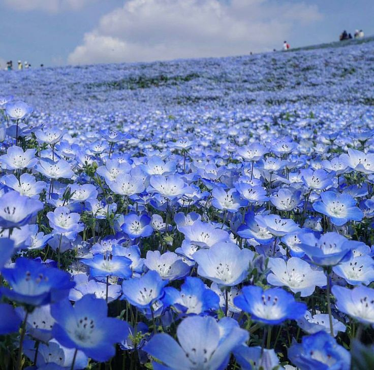 Hitachi Seaside Park is a public park in Hitachinaka, Ibaraki, Japan. Covering an area of 190 ha, the park features blooming flowers around the year. The park has become known for its baby blue-eyes flowers, with the blooming of 4.5 million of the translucent-petaled blue flowers in the spring drawing tourists.