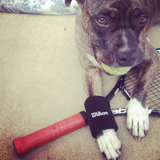 Tennis Tournament  #tennis #tournament #laborday #heat #sweat #sweatband #werkin on her #fitness #babalot #wilson #gear #myinstapit #ourpitpage #pitbull #boxer #rescue #mix #cute #brindle #pup @Jen Wilson Tennis