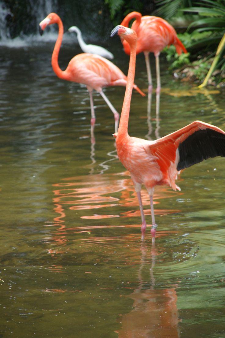 Flamingos in Jurong Bird Park, Singapore. October 2011