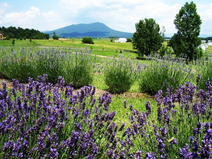 Tucked away in the beautiful Shenandoah Valley, you'll find this scenic family-run lavender farm.
