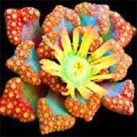 Benih langka kaktus bunga mini