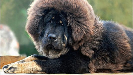 Red Tibetan mastiff.....would love to see one in person!