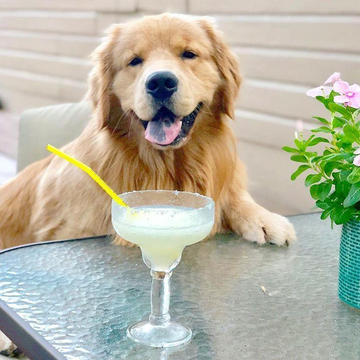 Cooper The Golden Retriever On Instagram Goldenretriever Dog Golden Retriever Retriever Choosing A Dog