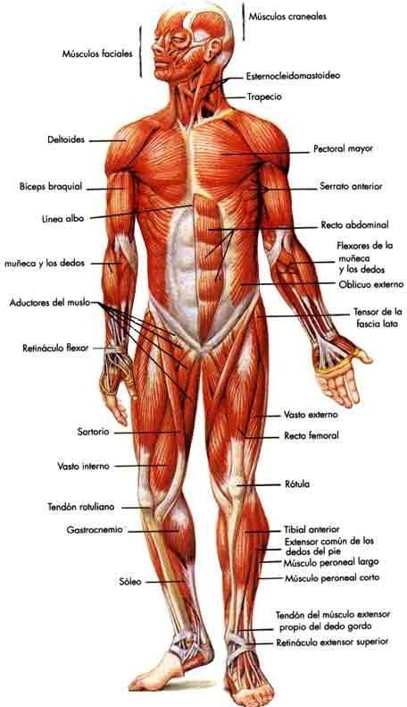 Best 44 anatoma cuerpo humano images on pinterest human body sistema muscular vista anterior fandeluxe Choice Image