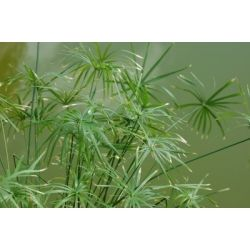 Cyperus Papyrus (Egyptian Paper Reed) Seeds