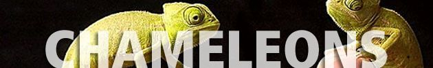 The same chemical that allows chameleons to change color is also found in human skin.