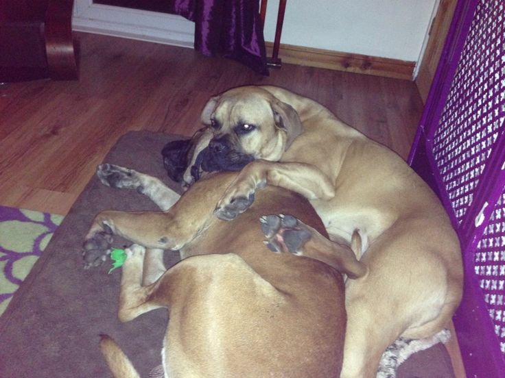 My babies ( bullmastiff ) they are adorable but are so misunderstood x