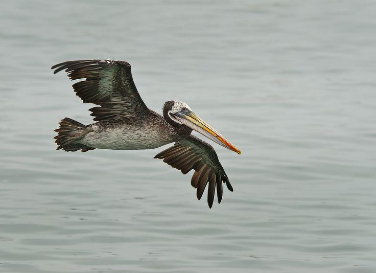 Pelicano, No Picture, Sighted 141025, Valparaiso, Chile