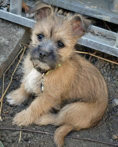 Teddy the Cairn Terrier Mix Pictures 579088